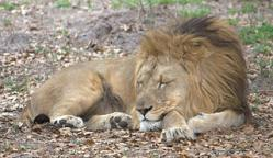 image 320pxLion_taking_a_catnap_4531331944.jpg (24.8kB)